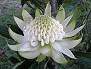 Click to display a larger image of this white waratah